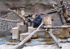 Huge gorilla monkey sitting in the zoo Royalty Free Stock Photo