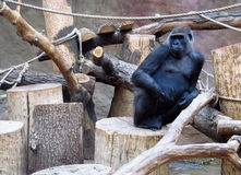 Huge gorilla monkey sitting in the zoo. Among the wooden stumps, ropes and network Royalty Free Stock Images