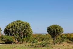 Huge green cactus bush high like a tree Stock Photo