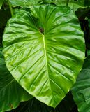 Huge Green Elephant Ear Leaf Stock Photography