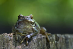 Huge green frog Stock Photography
