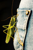 Huge green grasshopper landed on blue jeans pocket. Closeup of a green grasshopper sitting on a person's blue jeans pocket Royalty Free Stock Images