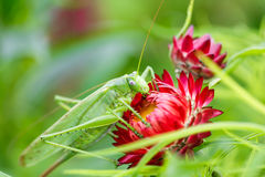 Huge green grasshopper on a red flower. Huge green grasshopper eating pollen on a red flower royalty free stock photo
