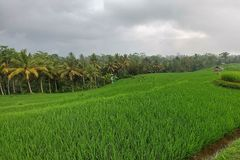 Huge green rice fields and terraces near the jungle of Bali in the Ubud region. Walking paths, rainy.  stock image