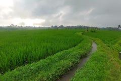 Huge green rice fields and terraces near the jungle of Bali in the Ubud region. Walking paths, rainy season.  stock photo