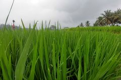 Huge green rice fields and terraces near the jungle of Bali in the Ubud region. Walking paths, rainy season. Rice leaves close up. Raindrops asia landscape royalty free stock photos