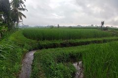 Huge green rice fields and terraces near the jungle of Bali in the Ubud region. Walking paths, rainy season. Water canal.  stock photography