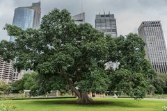 Huge green tree in front of tall business towers, Sydney Austral Royalty Free Stock Photography