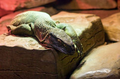 Huge green varanus lizard Stock Images