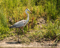 Huge grey heron Royalty Free Stock Images