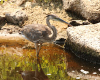 Huge grey Heron wading in water. Large grey heron walking through low waters in Paynes Prairie State park, Gainesville Florida. This one was off of the La Chua Stock Image