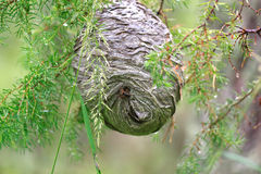 Huge grey papery social wasp's nest built Royalty Free Stock Image