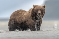 A huge grizzly bear fishing Salomon during low tide, in Katmai. royalty free stock photos