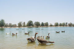 Huge group of geese and ducks swimming in the artificial lake in the sanctuary in the desert Royalty Free Stock Image