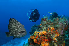 Huge Grouper and Scuba Diver. Huge Black Grouper (Mycteroperca bonaci) and Scuba Diver on Coral Reef - Cozumel, Mexico Royalty Free Stock Images