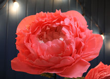 Huge growth gentle flower peony paper close up Stock Photos