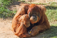 Huge hairy orangutan resting on the grass Stock Photo