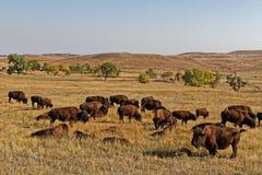 Huge herd of buffalos in Custer State Park. Buffalos herd in a Custer Park landscape, Black Hills, South Dakota stock image