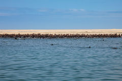 Huge herd of fur seal swimming near the shore of skeletons in th. E Atlantic Ocean, South Africa, Namibia Royalty Free Stock Photography
