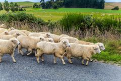 Huge herd of sheep is moving along the highway. Exotic journey to the South Island, New Zealand. Concept of active and ecological tourism stock photography