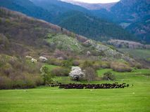 A huge Herd of wild sheep grazing in a meadow in the foothills of the mountains stock photography