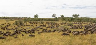 Huge herds of ungulates. Great migration of Kenya, Africa. Huge herds of ungulates. Great migration of Kenya, Eastest Africa Stock Photo