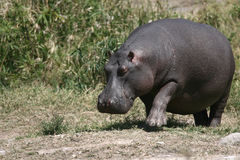 Huge Hippo Royalty Free Stock Photography