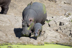 Huge hippo cow walk on the shore of a lake with calf Royalty Free Stock Image