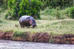 Huge hippo grazes. Huge hippo grazing on the shore of Lake Naivasha. Safari - tour to the famous Kenyan reserve Hell's Gate Park, Kenya. The concept of exotic stock photography