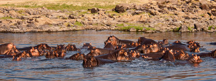 Huge Hippo Pool Royalty Free Stock Image