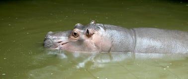 Huge hippopotamus (close-up ) Stock Photo