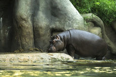 Huge hippopotamus. Royalty Free Stock Photography