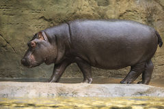 Huge hippopotamus. Royalty Free Stock Image