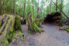 Huge hollow fallen tree root and stump. In rainforest at Mount Field National Park, Tasmania Royalty Free Stock Images