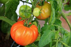 Huge home grown tomato in Europe Royalty Free Stock Image