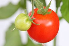 Huge home grown tomato in Europe Stock Photos