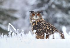 Huge horned owl Royalty Free Stock Photos