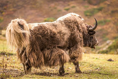 Huge horned Yak, Nepal. Powerful yak at the mountain in Annapurna circuit, Himalaya, Nepal Royalty Free Stock Images