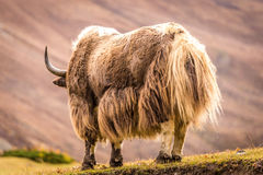 Huge horned Yak, Nepal. Powerful yak at the mountain in Annapurna circuit, Himalaya, Nepal Royalty Free Stock Photo