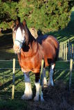 Huge horse in front of the tree. Beautiful huge brown horse with white hairy legs staying in front of the tree in New Zealand Stock Photos