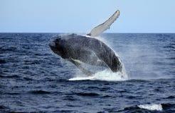 Huge Humpback breach Royalty Free Stock Photos