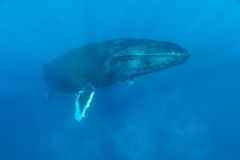 Free Huge Humpback Whale Rises To Surface Royalty Free Stock Image - 99243536