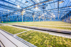 Huge hydroponic plantation system. With green plants, powerful lamps and big area - greenhouse Stock Images