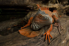 The huge iguana lizard moves along the trunk of the tree, turns its head and looks carefully, the color is gray and bright orange, Royalty Free Stock Photo