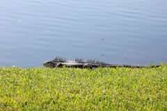 Huge Iguana Sunning Himself Royalty Free Stock Images
