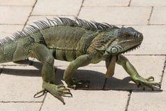 Huge Iguana walking in Florida Royalty Free Stock Images