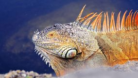 Huge iguana beside water in South Florida Royalty Free Stock Photos