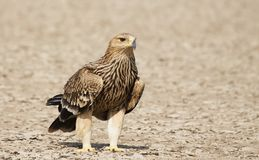Huge Imperial Eagle from Gujarat, India Royalty Free Stock Photos