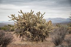 Huge  jumping cholla cactus in the Red Rock Canyon National Cons Stock Photos