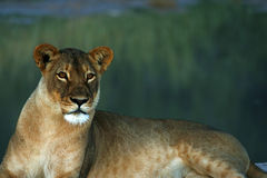Huge Kalahari Lioness Stock Photos